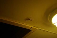 Handteller große Spinne