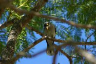 Miner Bird