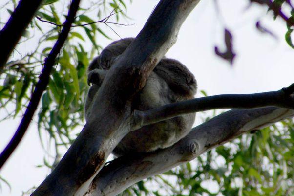 Erster freilebender Koala