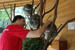 Vier Koalas