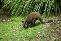 Kleines Wallaby