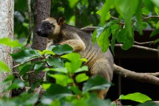 Tree Wallaby