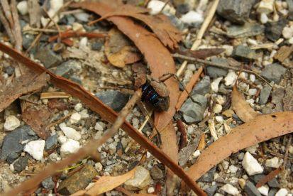 Blauer Käfer