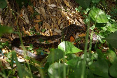 Unsere 4. freilebende gesichtete Schlange