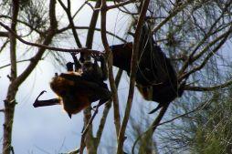 Flying Foxes beim Liebesspiel