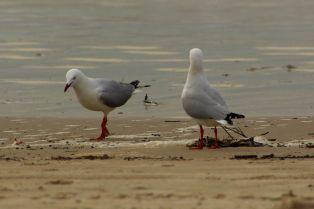 Strandbewohner von Coolangatta
