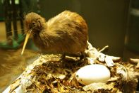 Kiwi Encounter