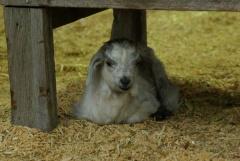 Sheeplet