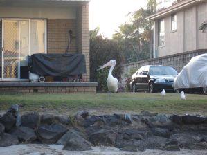 Pelikan - ich wohne hier