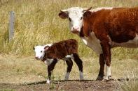 Kuh und Cowlet