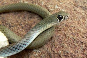 SchlangeYellow-faced Whip Snake