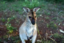 Kleine Känguru