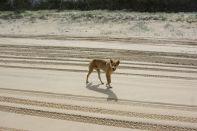 Erwachsener Dingo
