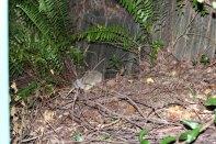 Für uns ein Rascheltier, für Australier ein Bandicoot
