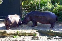 Her mit dem Futter, Hippo