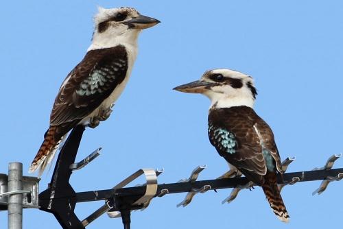 Zwei Kookaburra