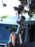 Igelbaum mit Igelbürste