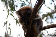 Koala in freier Wildbahn, niedlich