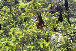 Flying Foxes auf Hayman Island