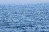 Kleiner Wal