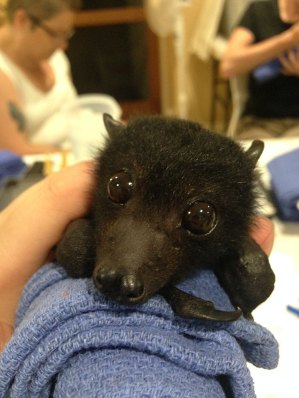 Flying Fox Baby
