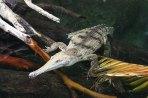 Kleines Crocodile